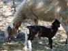 pecore-agriturismo-bevagna